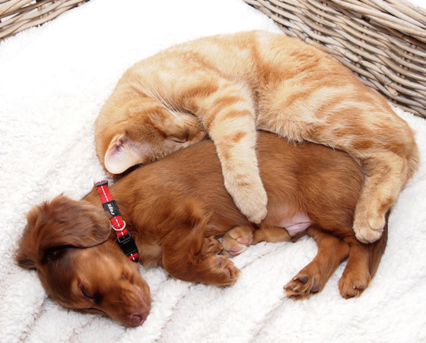 cats-and-dogs-getting-along-241__605