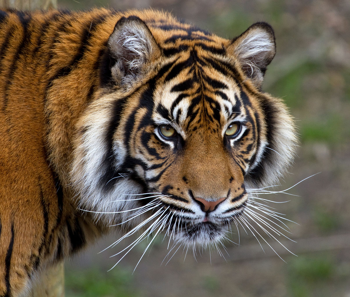 https://upload.wikimedia.org/wikipedia/commons/thumb/f/f8/Sumatran_Tiger_5_(6964685356).jpg/1205px-Sumatran_Tiger_5_(6964685356).jpg