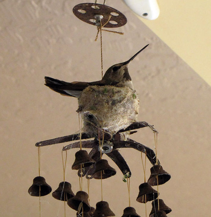Hummingbird Nesting On A Patio Windchime