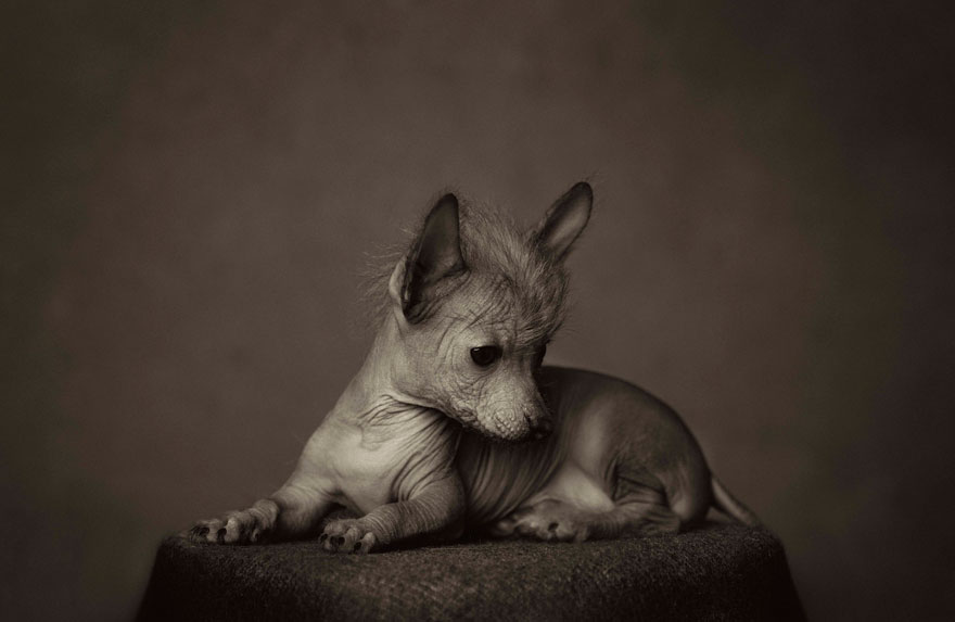 expressive-animal-portraits-human-emotions-vincent-legrange-4