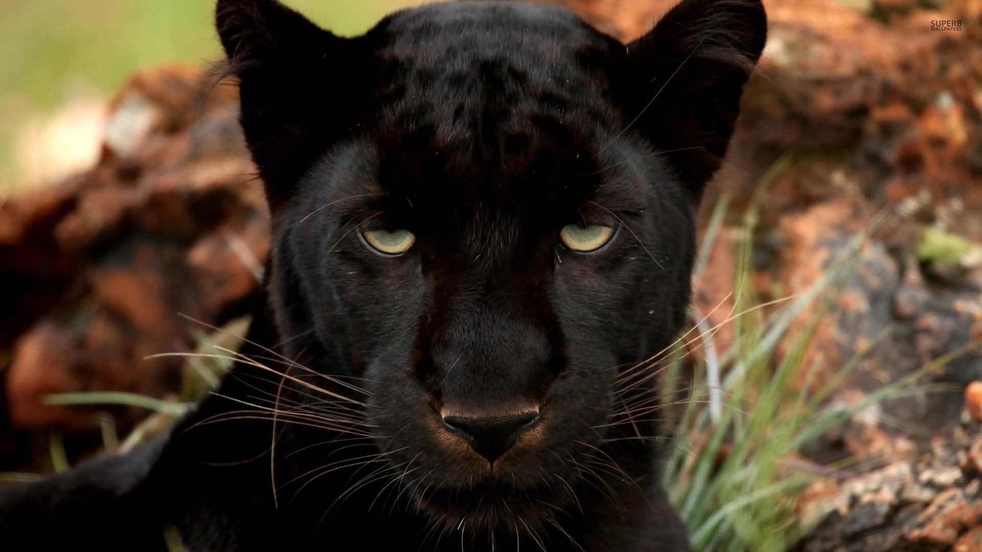 http://cegroni.com/data/uploads/6/281199-black-panther.jpg