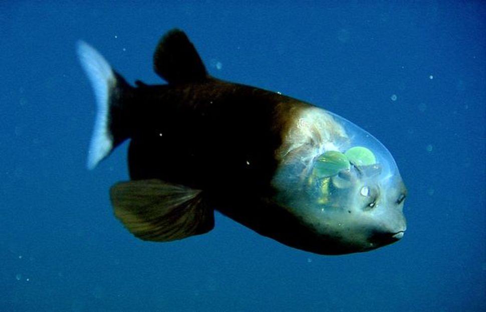 http://buzzingontheweb.com/wp-content/uploads/2014/11/Barreleye-Fish-1.jpg