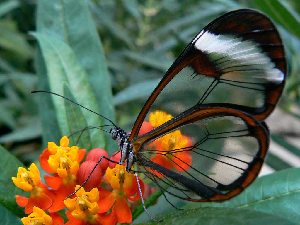 https://featuredcreature.com/wp-content/uploads/2013/07/Glass_wing_or_clear_wing_butterfly_Wallpaper_h6675.jpg