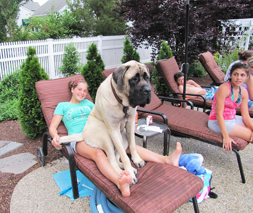 Huge-Dogs-Who-Think-They-Are-Small-6__605