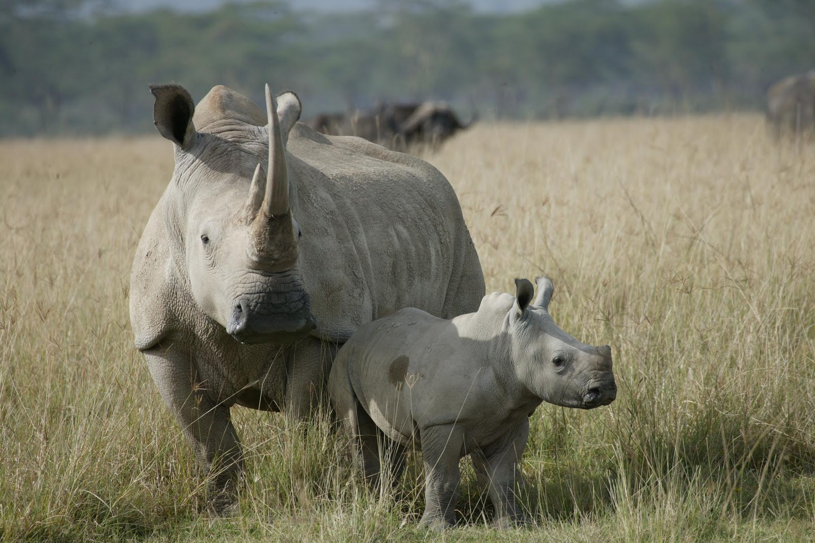 http://1.bp.blogspot.com/-pDtiYh6-crY/TvTdFvBvKqI/AAAAAAAACcM/4o-rbzhYBAI/s1600/White+Rhino+beautiful+dangerous+african+animal+safaris+animal+attacks+news+picture.jpg