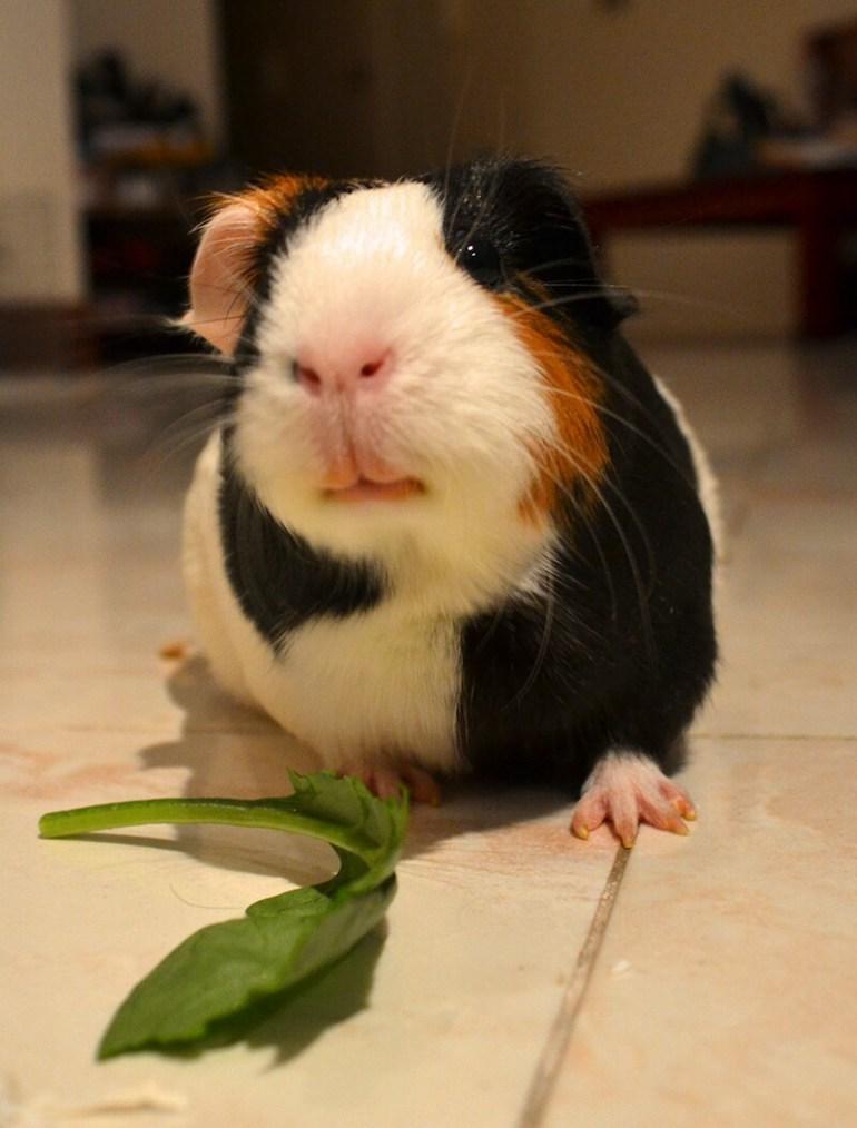 a-cute-guinea-pig-called-waffles
