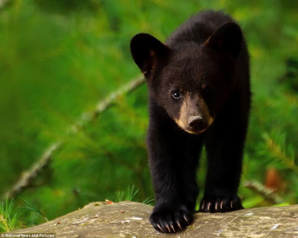 black bear Brian Shults