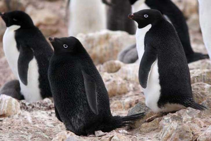 black penguin