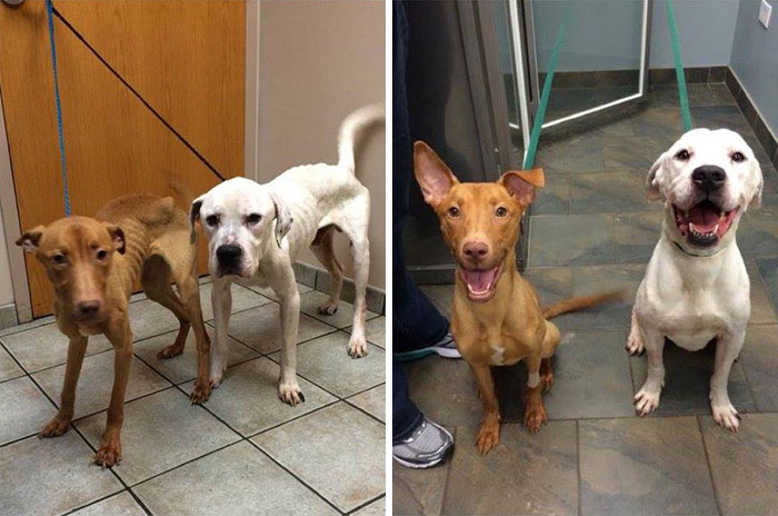 two-starving-dogs-transform-rescued-trio-animal-foundation-chicago-11
