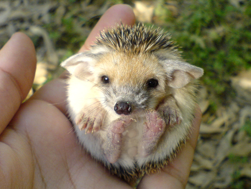 http://allwallpapersnew.com/wp-content/gallery/baby-porcupine-pictures/cute_hedgehog.jpg
