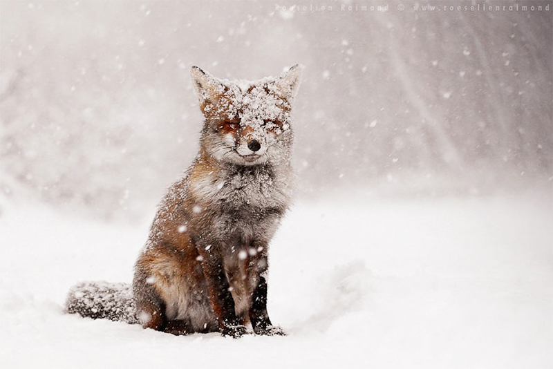 foxes-roeselien-raimond-1