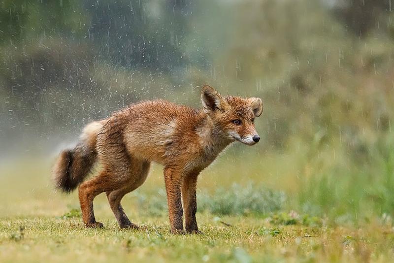 foxes-roeselien-raimond-12
