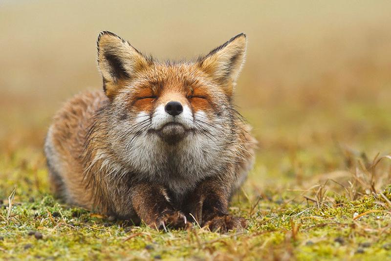 foxes-roeselien-raimond-13
