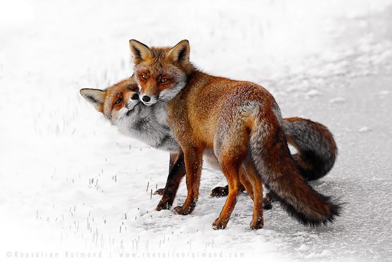 foxes-roeselien-raimond-14