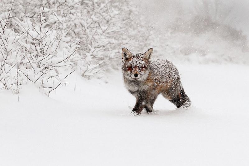 foxes-roeselien-raimond-15