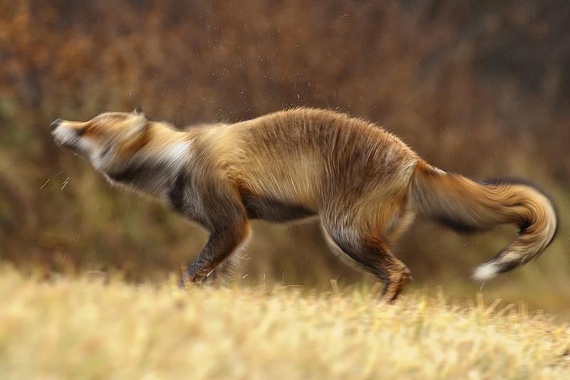 foxes-roeselien-raimond-16