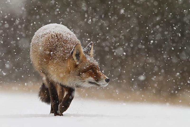 foxes-roeselien-raimond-19