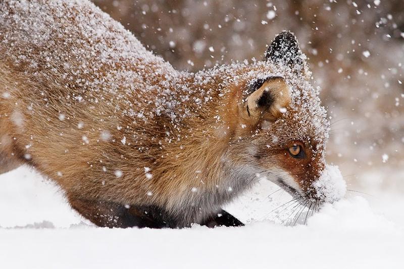 foxes-roeselien-raimond-20