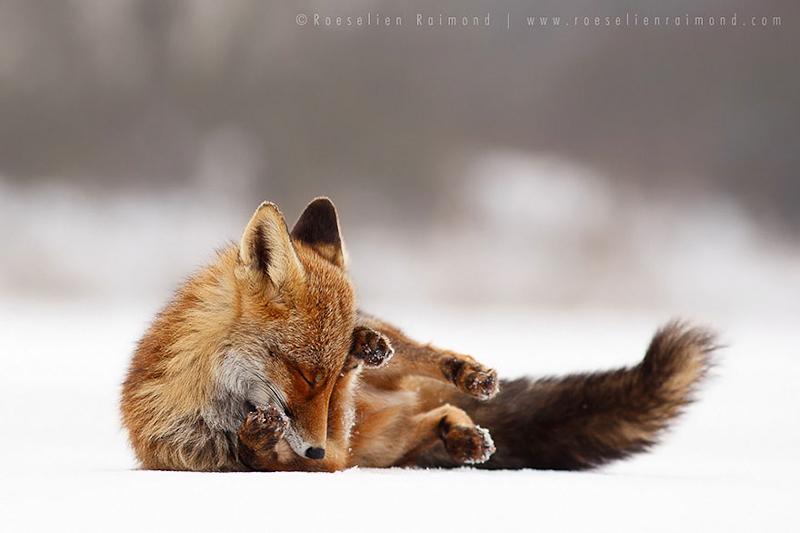 foxes-roeselien-raimond-21