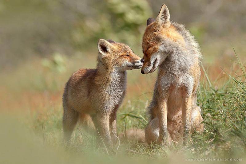 foxes-roeselien-raimond-3