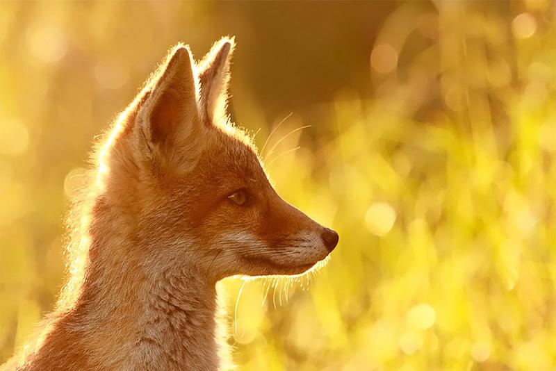 foxes-roeselien-raimond-8