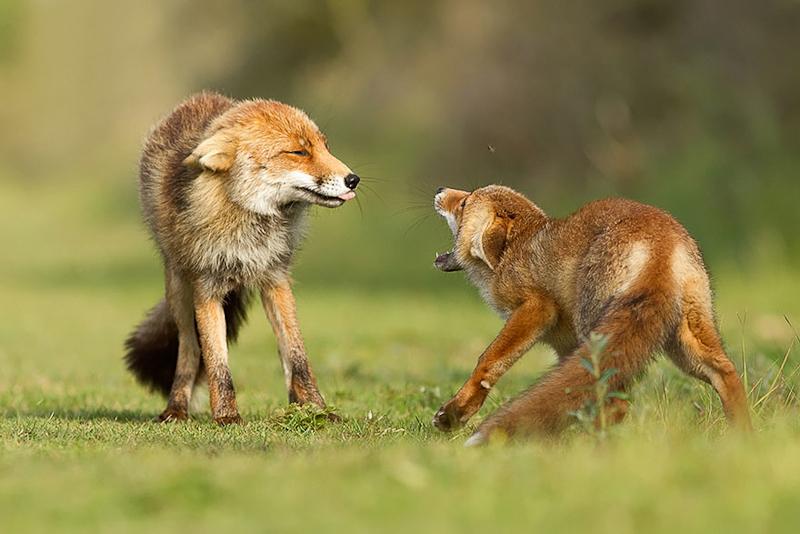foxes-roeselien-raimond-9