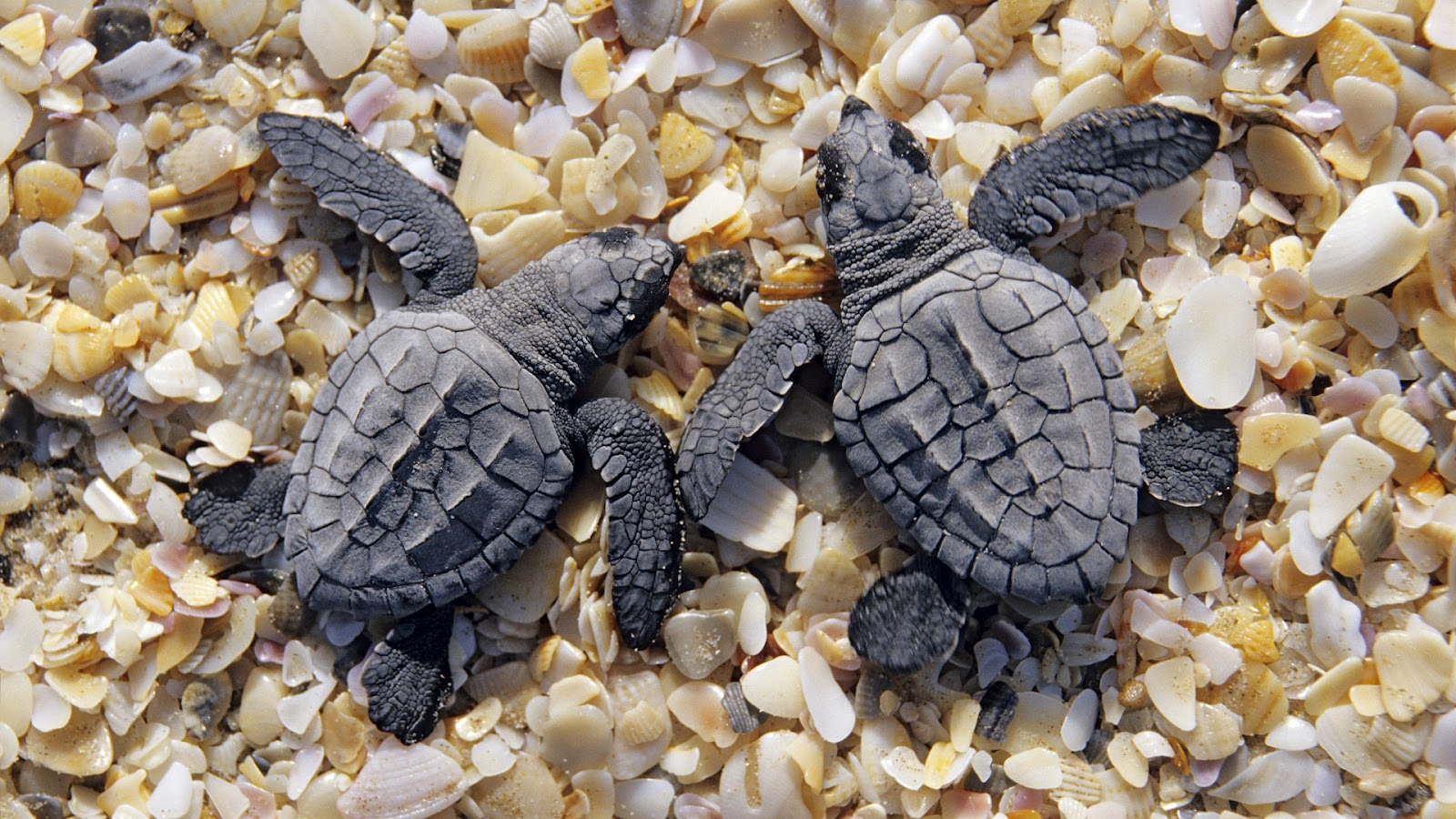 http://3.bp.blogspot.com/-beGr23QygNM/UCJ-A8P5pdI/AAAAAAAAAJw/2axhewUVuoc/s1600/hd-turtles-backgrounds-two-little-young-black-turtles-on-the-beach-hd-turtles-backgrounds.jpg