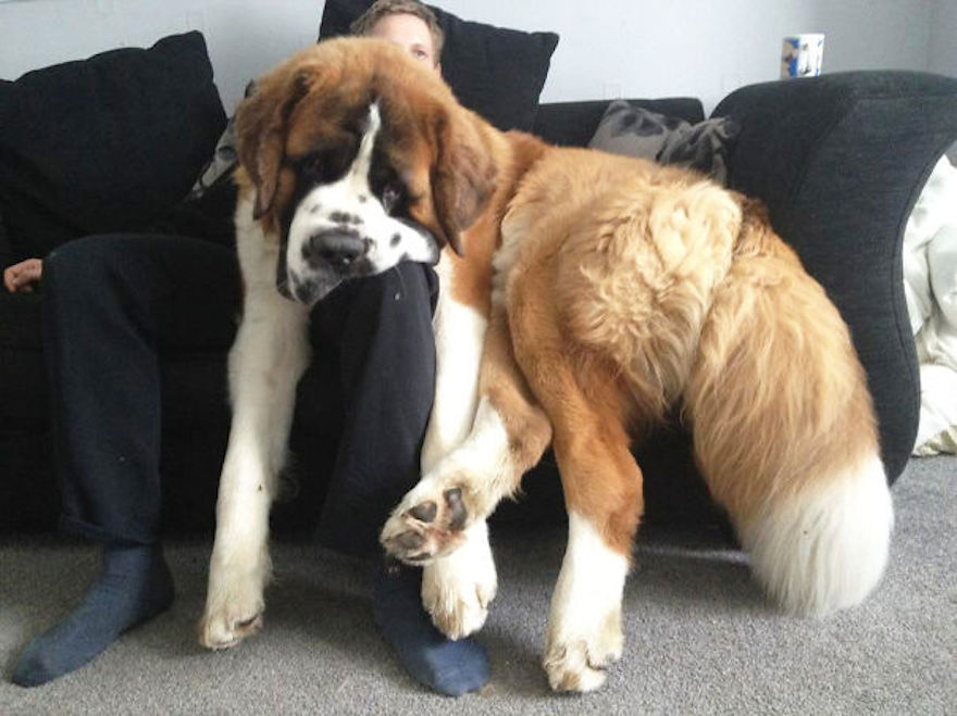 huge-dogs-feel-small-13__6054