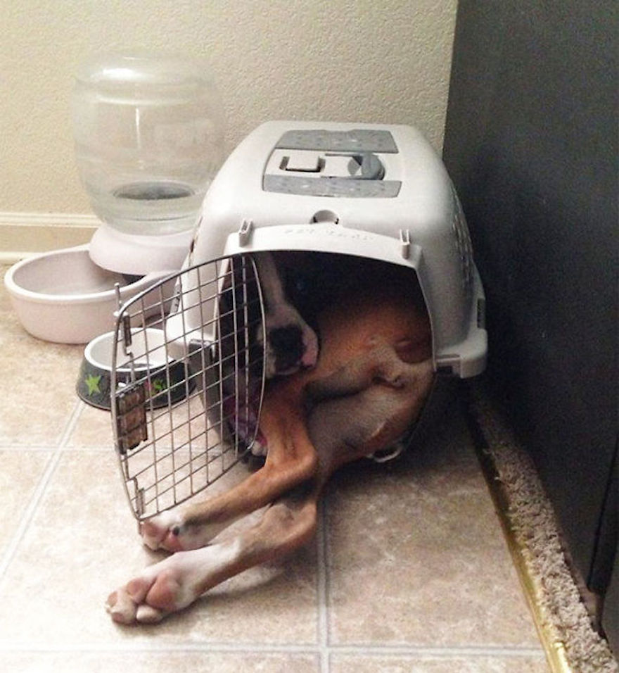 huge-dogs-feel-small-in-cage__605