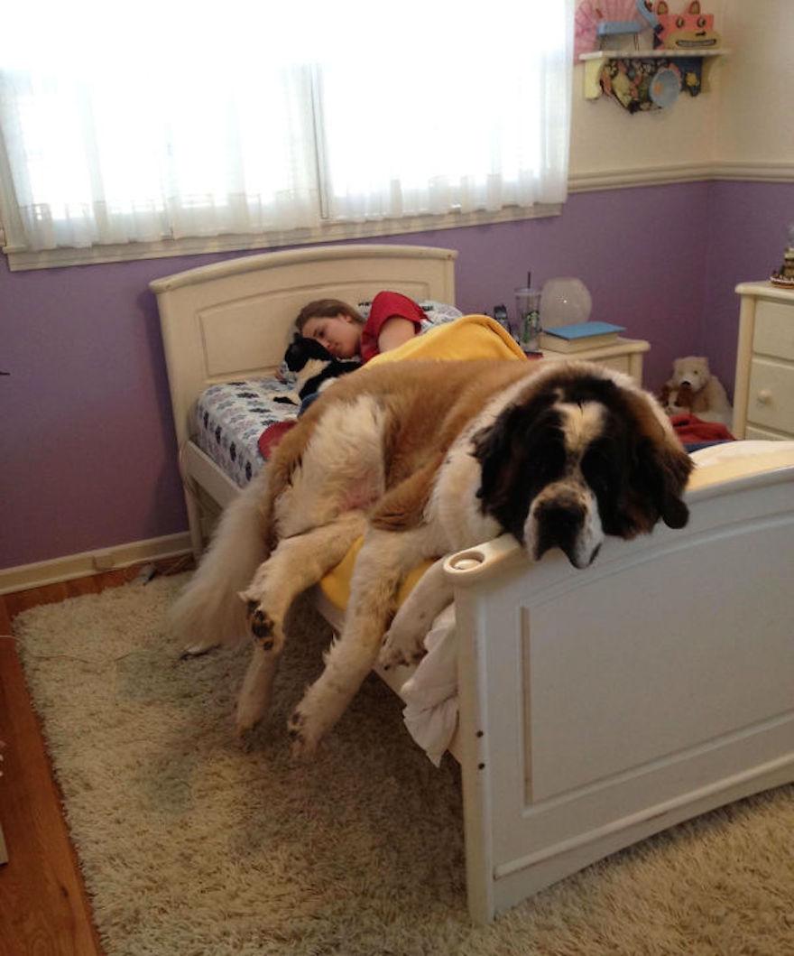 huge-dogs-feel-small-st-bernard-on-bed__605