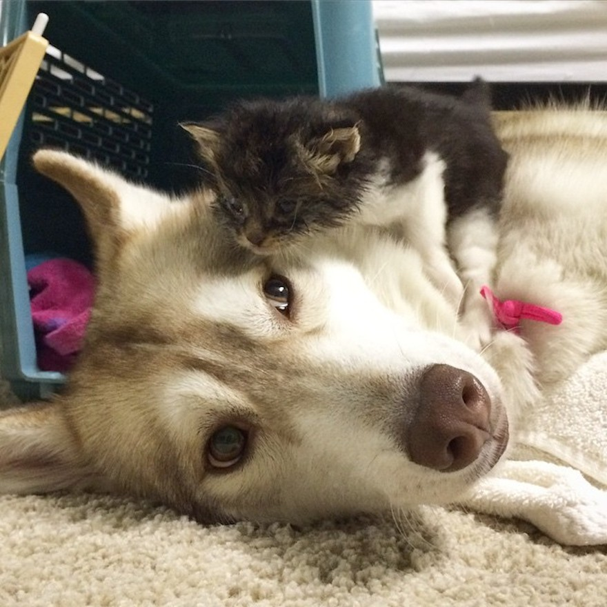husky-dog-mother-rescues-kitten-lilo-rosie-2