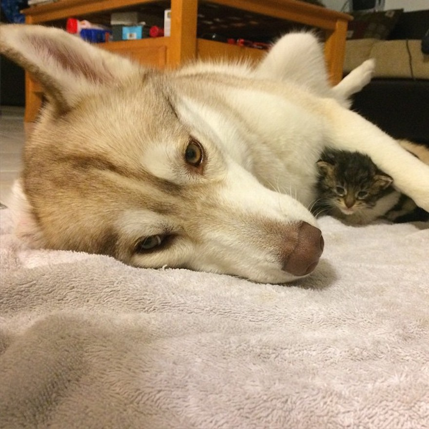 husky-dog-mother-rescues-kitten-lilo-rosie-3