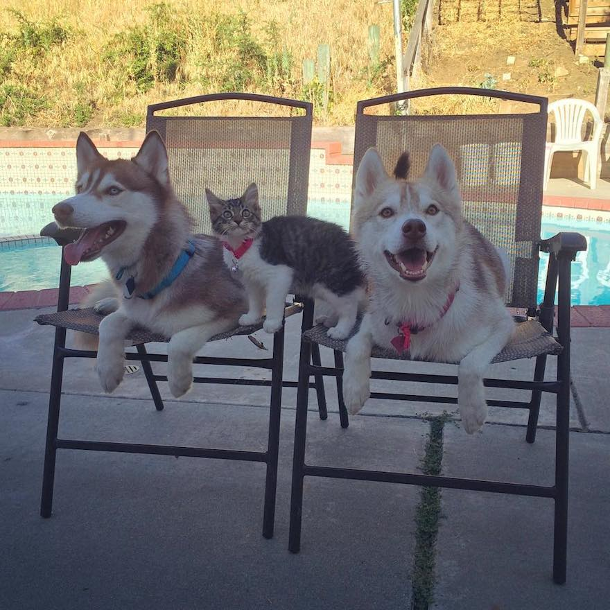 husky-dog-mother-rescues-kitten-lilo-rosie-7