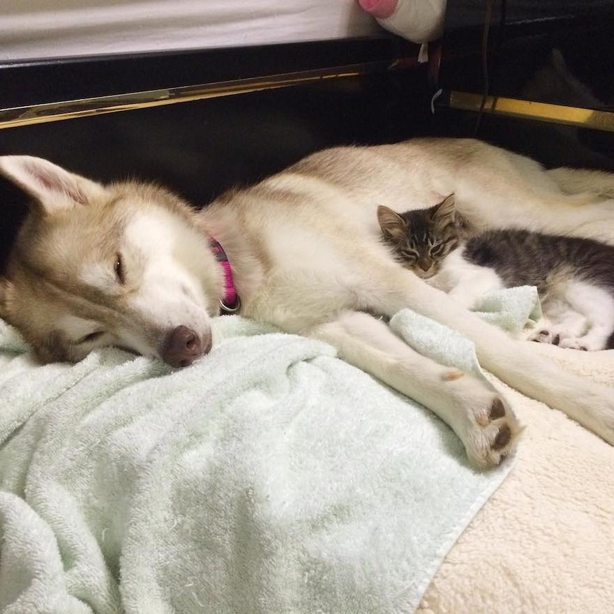 husky-dog-mother-rescues-kitten-lilo-rosie-8
