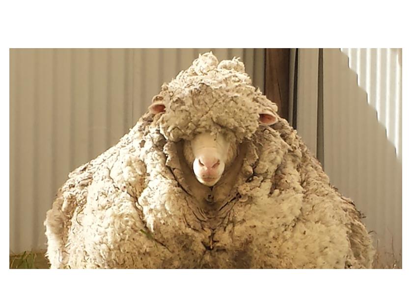chris the sheep