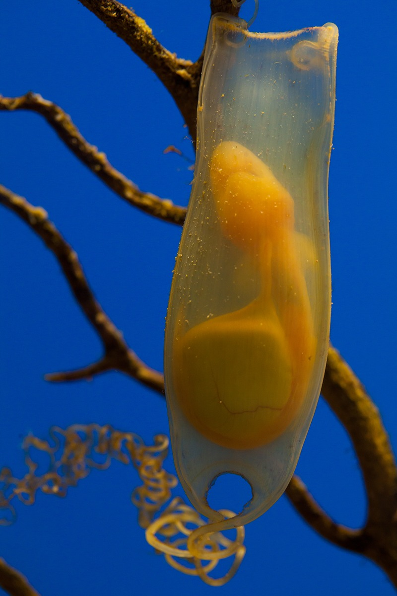 shark-egg-embryo