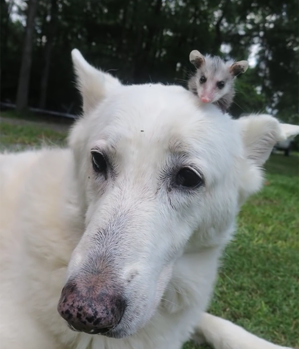 opossom-dog-2