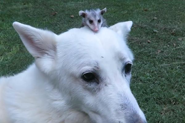 opossom-dog-3