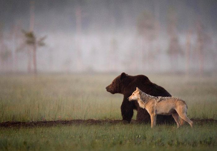 rare-animal-friendship-gray-wolf-brown-bear-lassi-rautiainen-finland-9